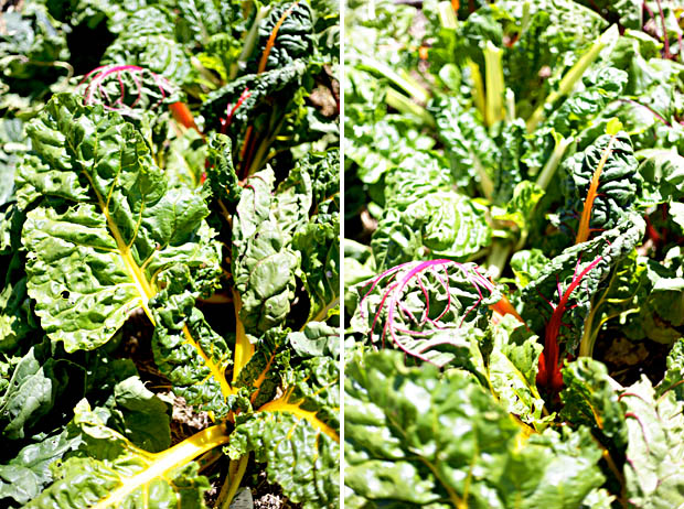 Silverbeet Rainbow Chard | She Sows Seeds