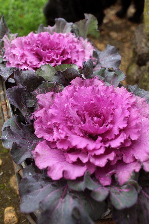 Ornamental Kale | She Sows Seeds