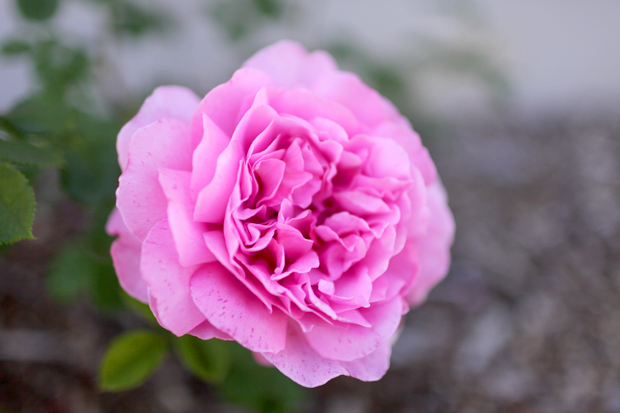 An Arbour and a Rose Garden | She Sows Seeds 11