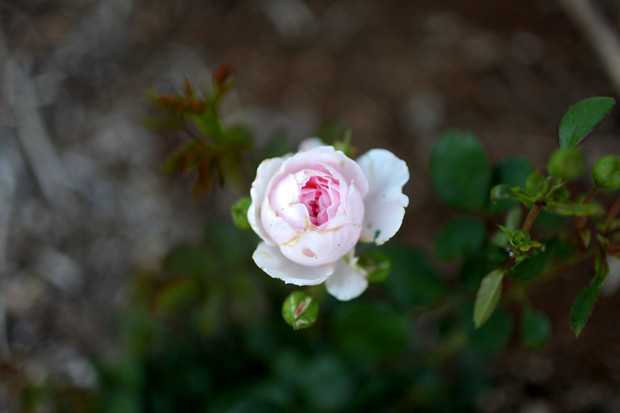 An Arbour and a Rose Garden | She Sows Seeds 13