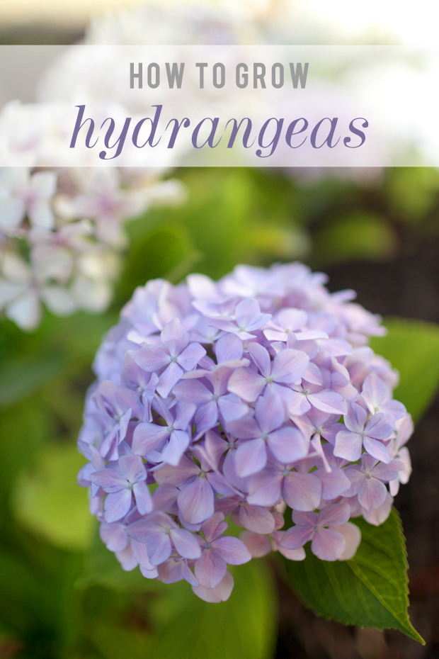 How To Grow Hydrangeas | She Sows Seeds 2
