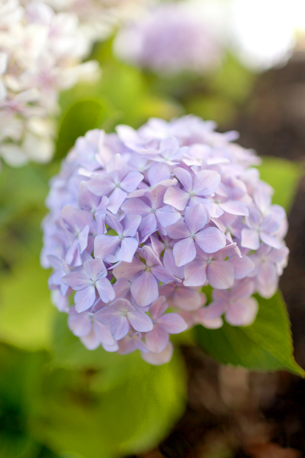 How To Grow Hydrangeas | She Sows Seeds 3