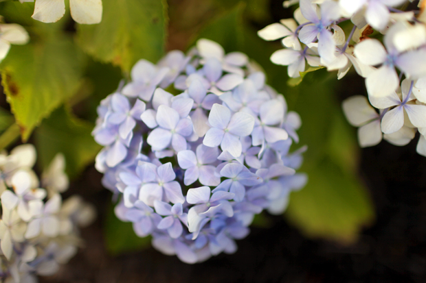 How To Grow Hydrangeas | She Sows Seeds